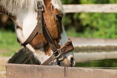 eau cheval canicule chaleur